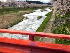 夏井川千本桜
