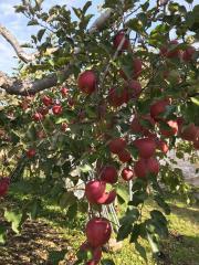 江本りんご園