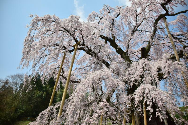 下から見上げた滝桜